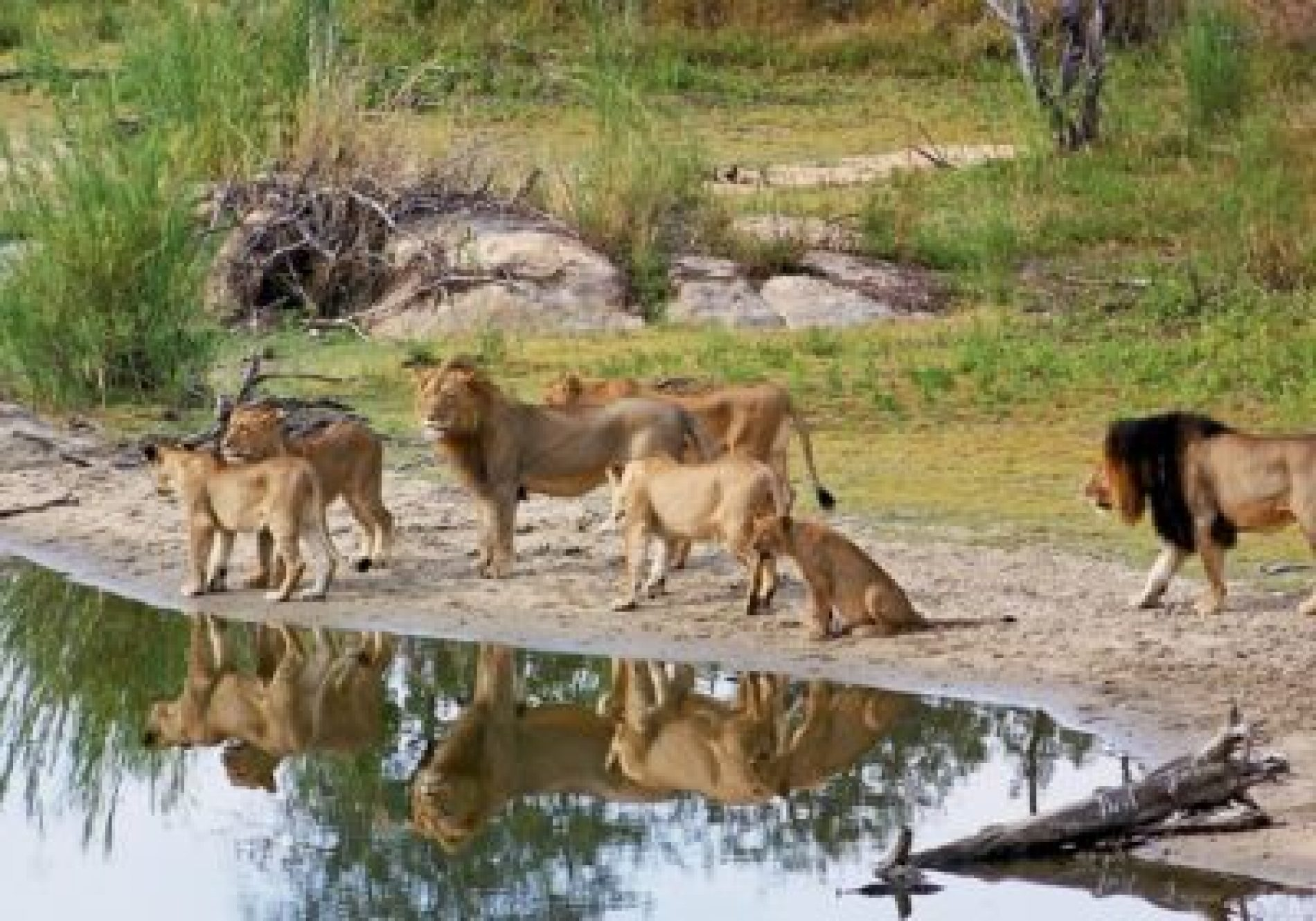 Africa: Safari operators expect to feel the love from 'Lion King' release